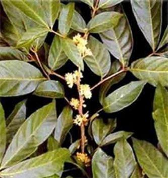 Plante aphrodisiaque - muira puama