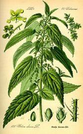 Plante aphrodisiaque - ortie