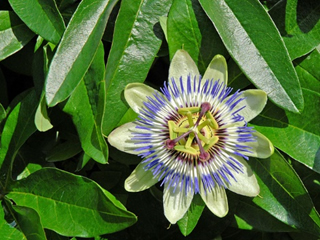 Plante aphrodisiaque - passiflore