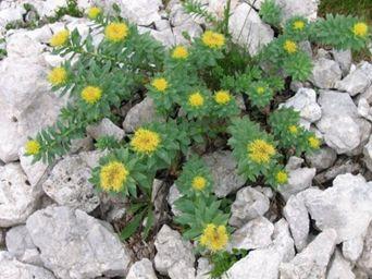 Plante aphrodisiaque - rhodalia