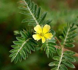 Plante aphrodisiaque - tribulus