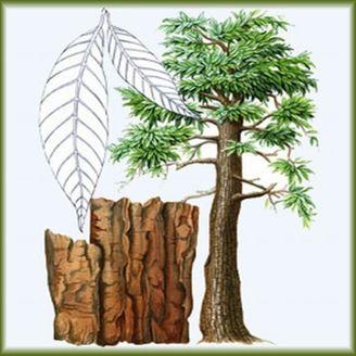 Plante aphrodisiaque - yohimbe